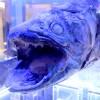 シーラカンスだ!!沼津港にある深海水族館はマニアには最高の水族館だった