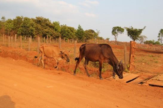 モンドルキリで出会った牛