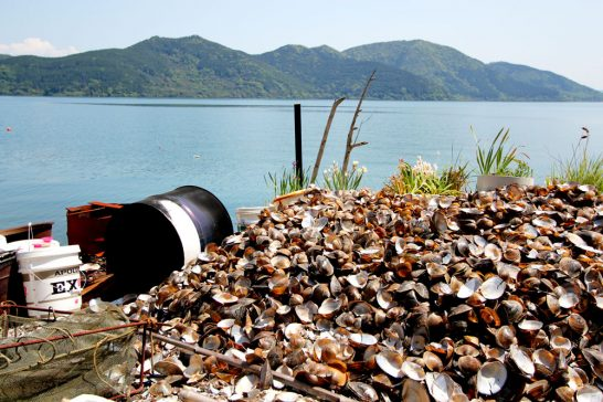 大量の貝殻