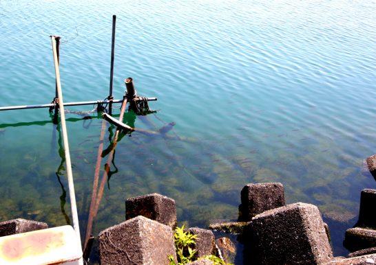 琵琶湖の魚たち