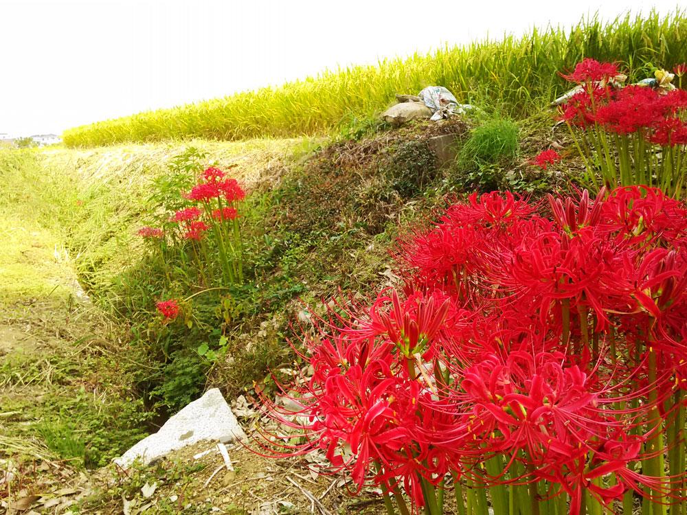 田んぼなどに咲き乱れる彼岸花