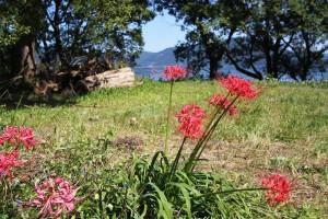 彼岸花の赤と琵琶湖の青のコントラストが美しいですね。