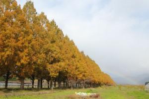 色づいたメタセコイア並木と虹