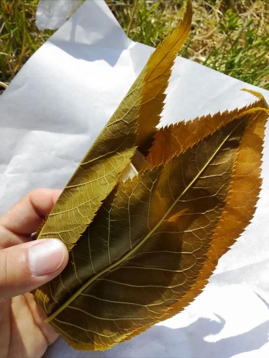3枚の葉で包まれています