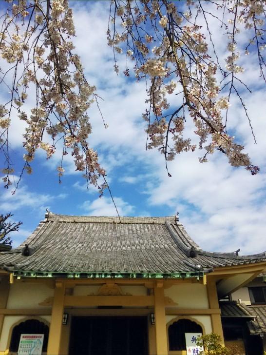 長命寺の桜