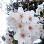 桜が満開!