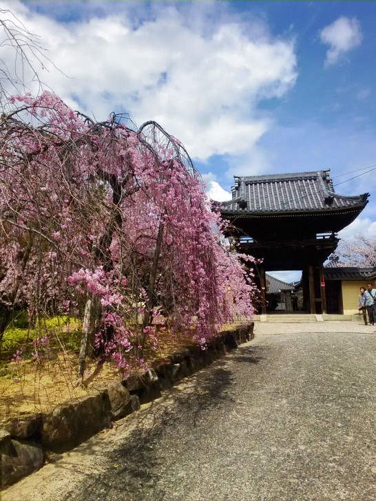こちらは門前の桜。濃いピンクが良い感じ。