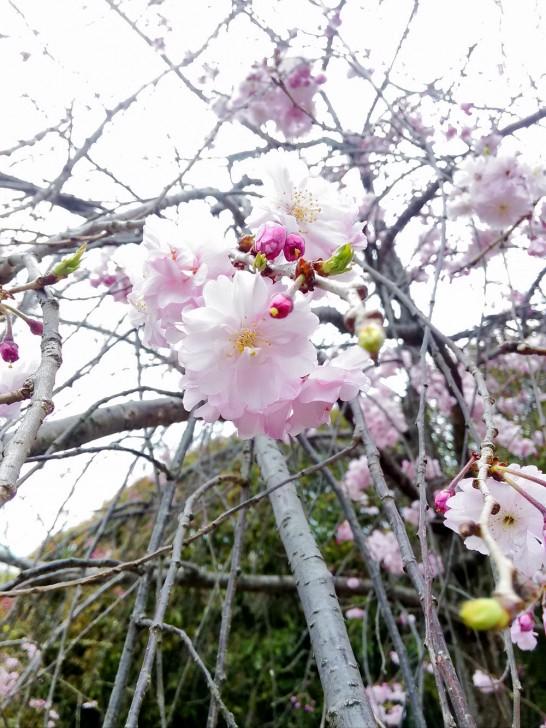 道明寺の桜