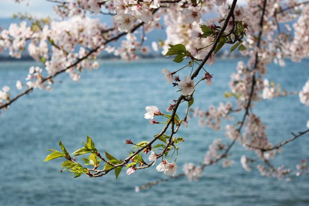 琵琶湖に桜が映えます