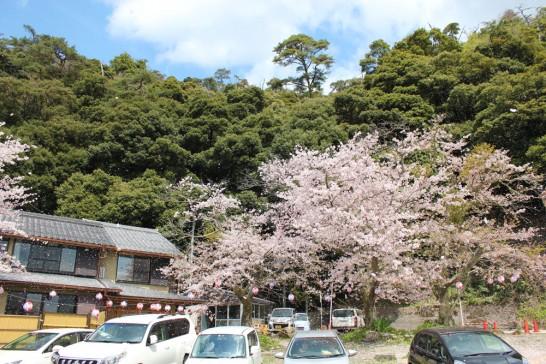 強風で桜が舞う