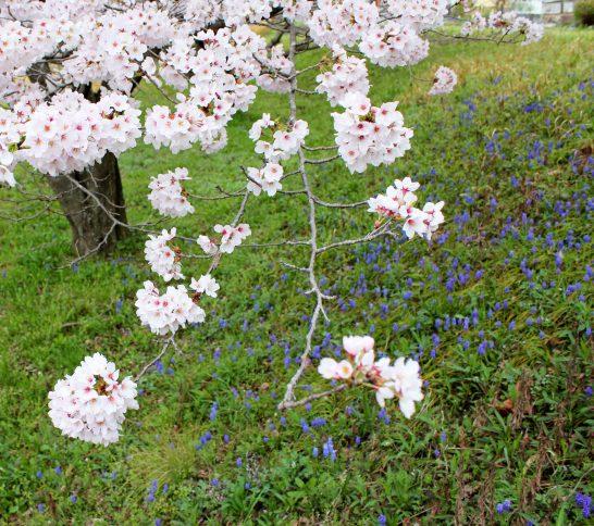 桜と一緒に咲くムスカリ