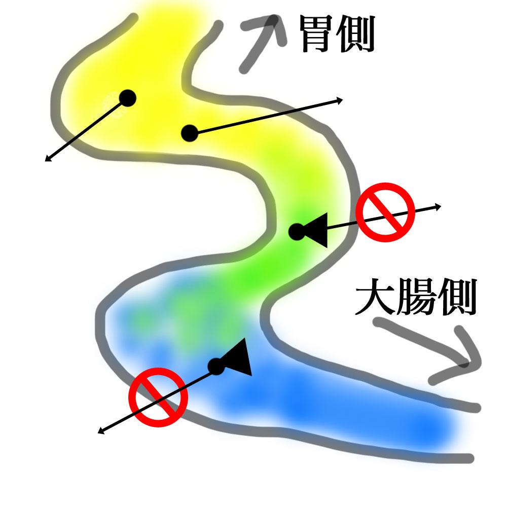 小腸でのカルシウムの吸収