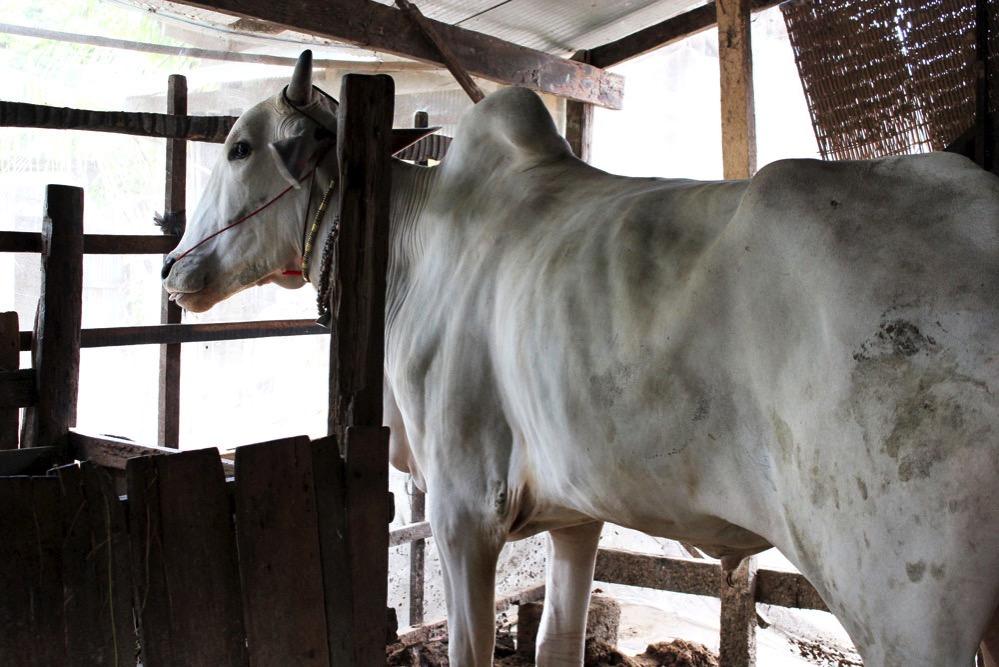 家の中で飼ってる牛