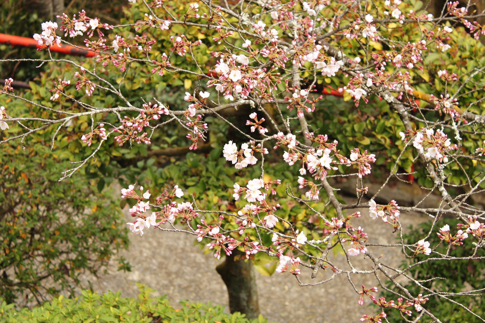 月見亭のまわりに植えられた桜