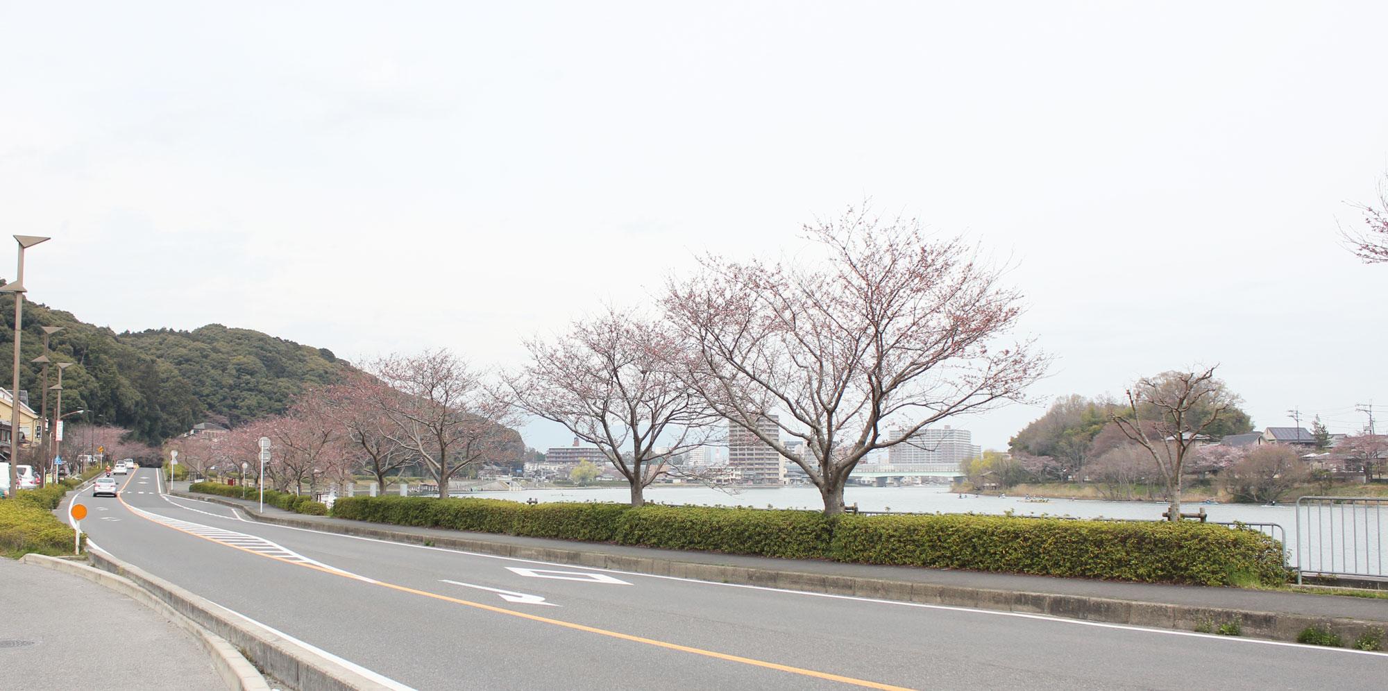 瀬田川に沿って桜が植えられている