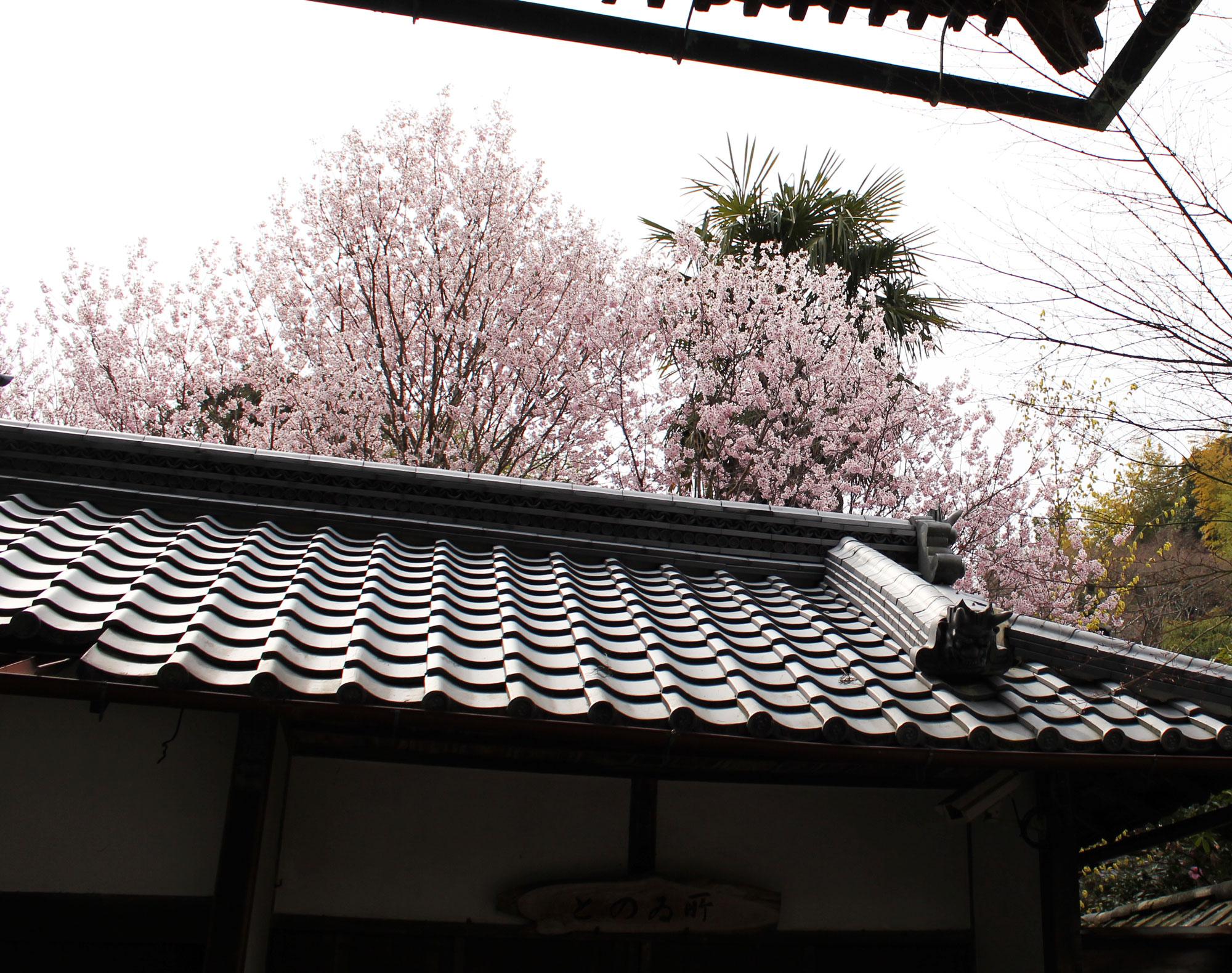 東大門をくぐってすぐに見えた桜