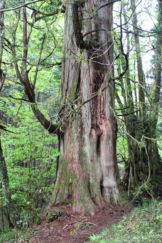 樹齢約300年のさわらの大樹