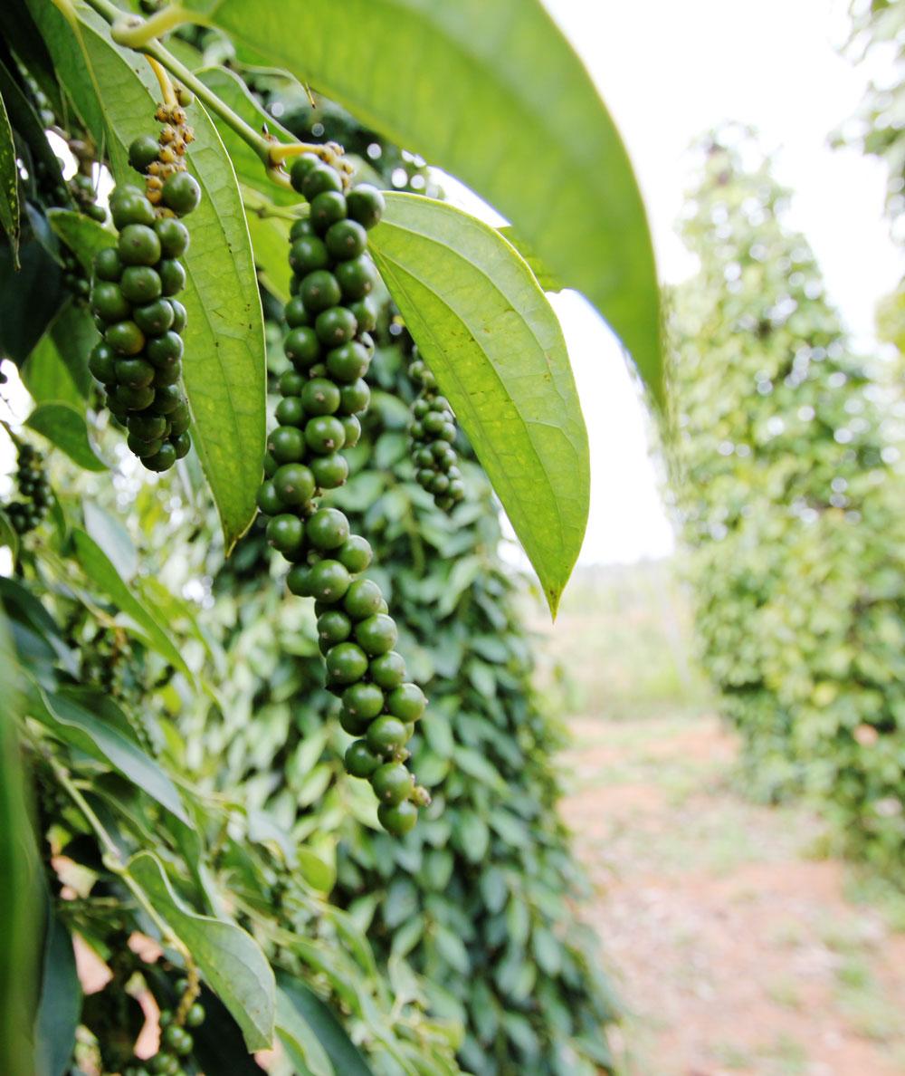 胡椒農園で栽培されている胡椒