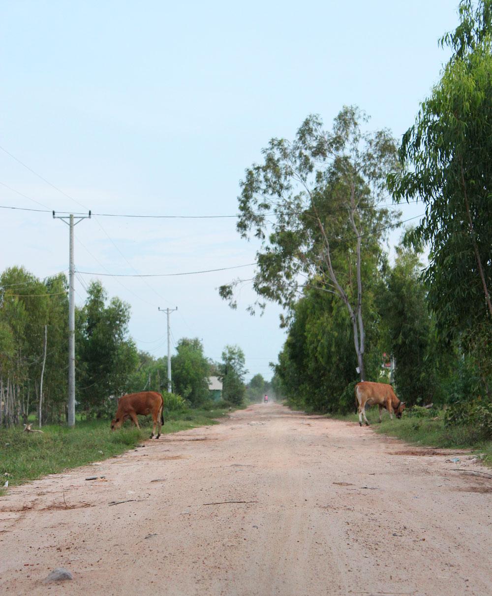 道で放し飼いにされている牛