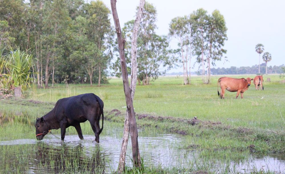 カンボジアの牛