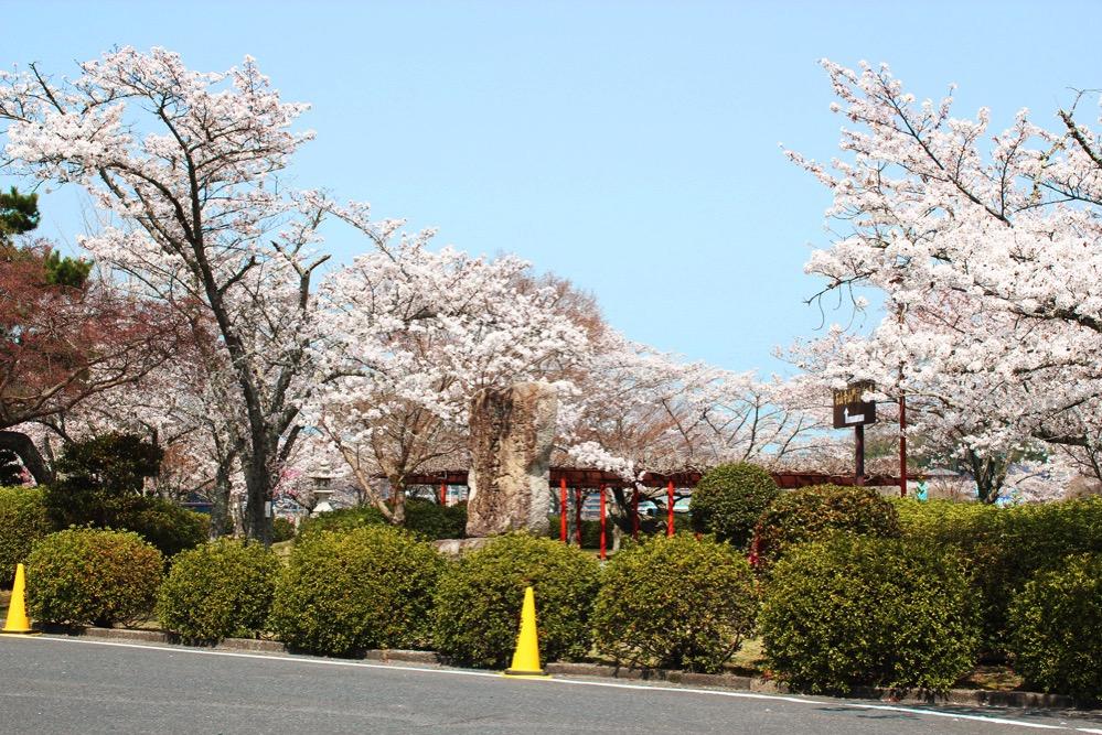 石山寺山門前に咲く満開の桜