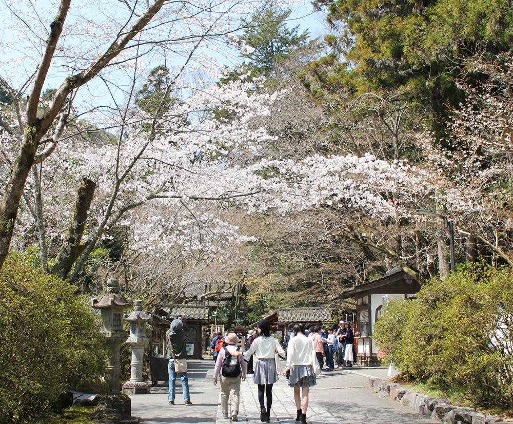 チケット売り場付近の桜