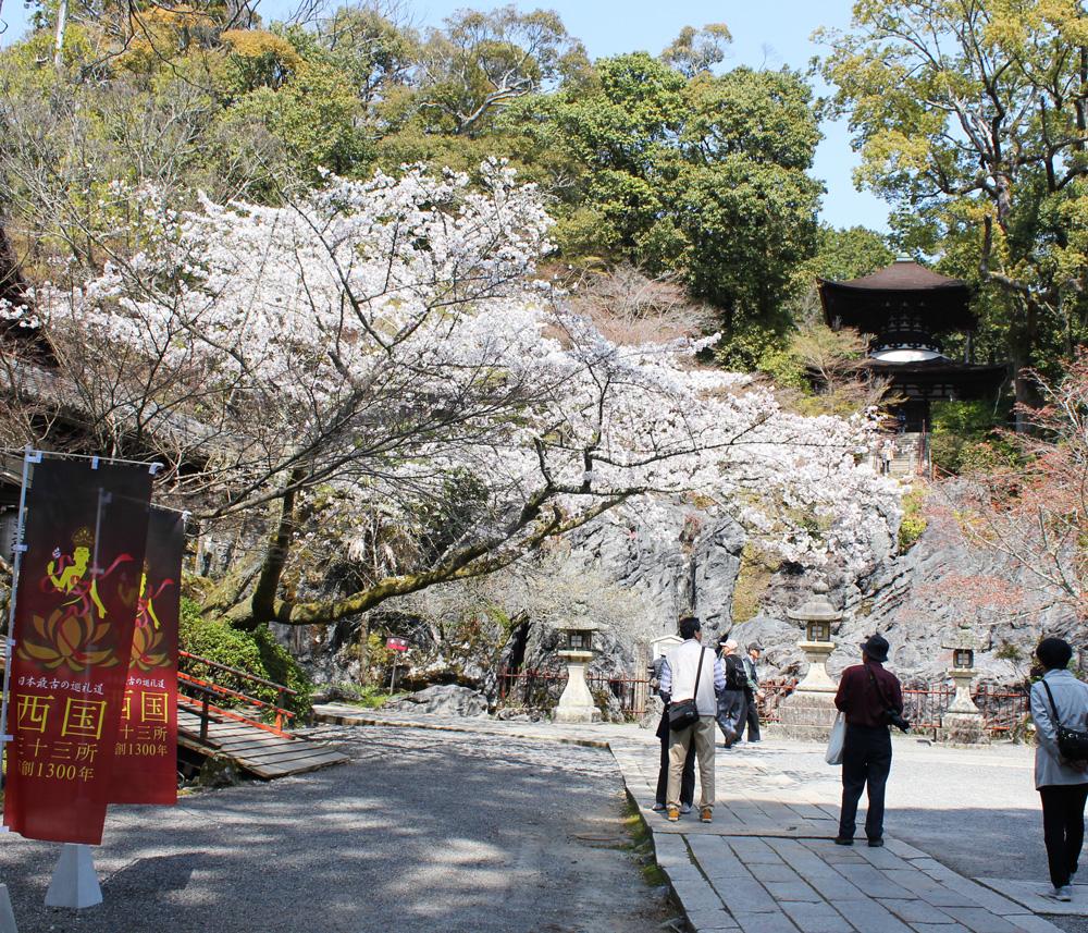 本堂付近の桜