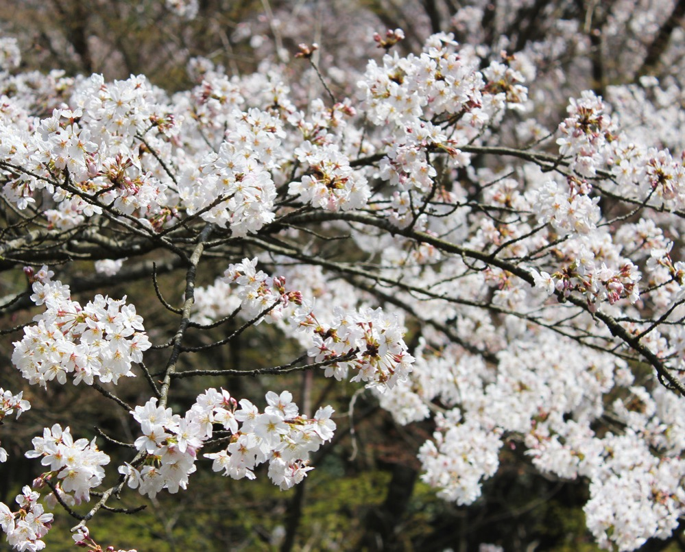 風にゆらぐ桜