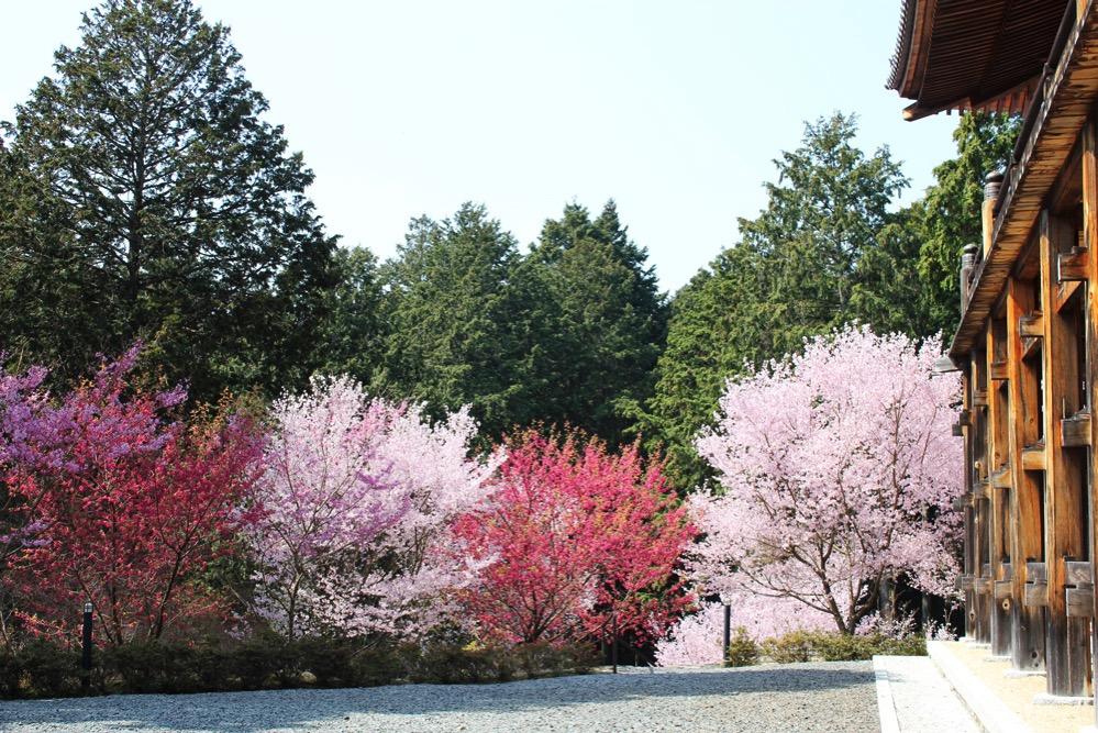 光堂の裏手に咲く桜