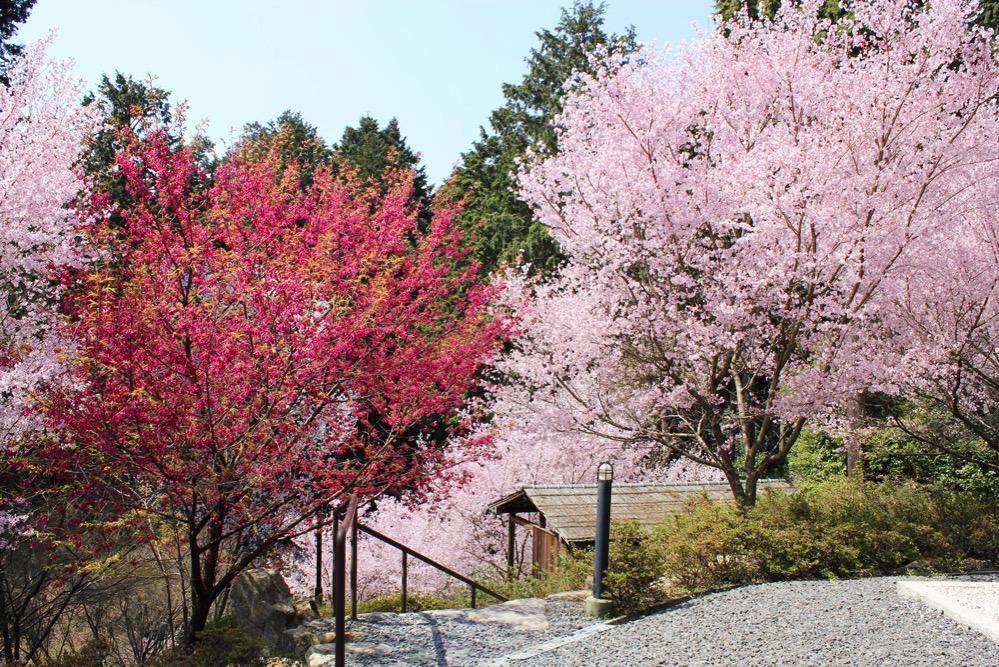 桜で埋め尽くされた斜面