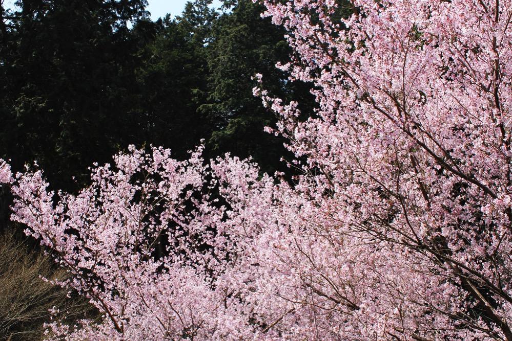 感動的な桜並木