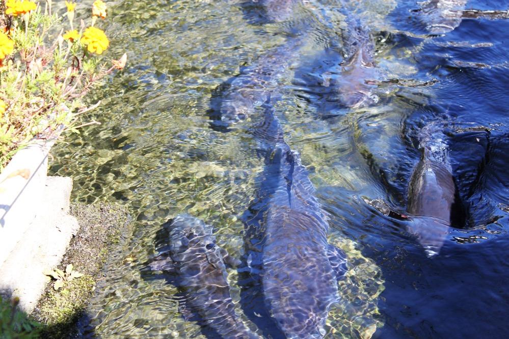 大きな鯉が泳ぐ川
