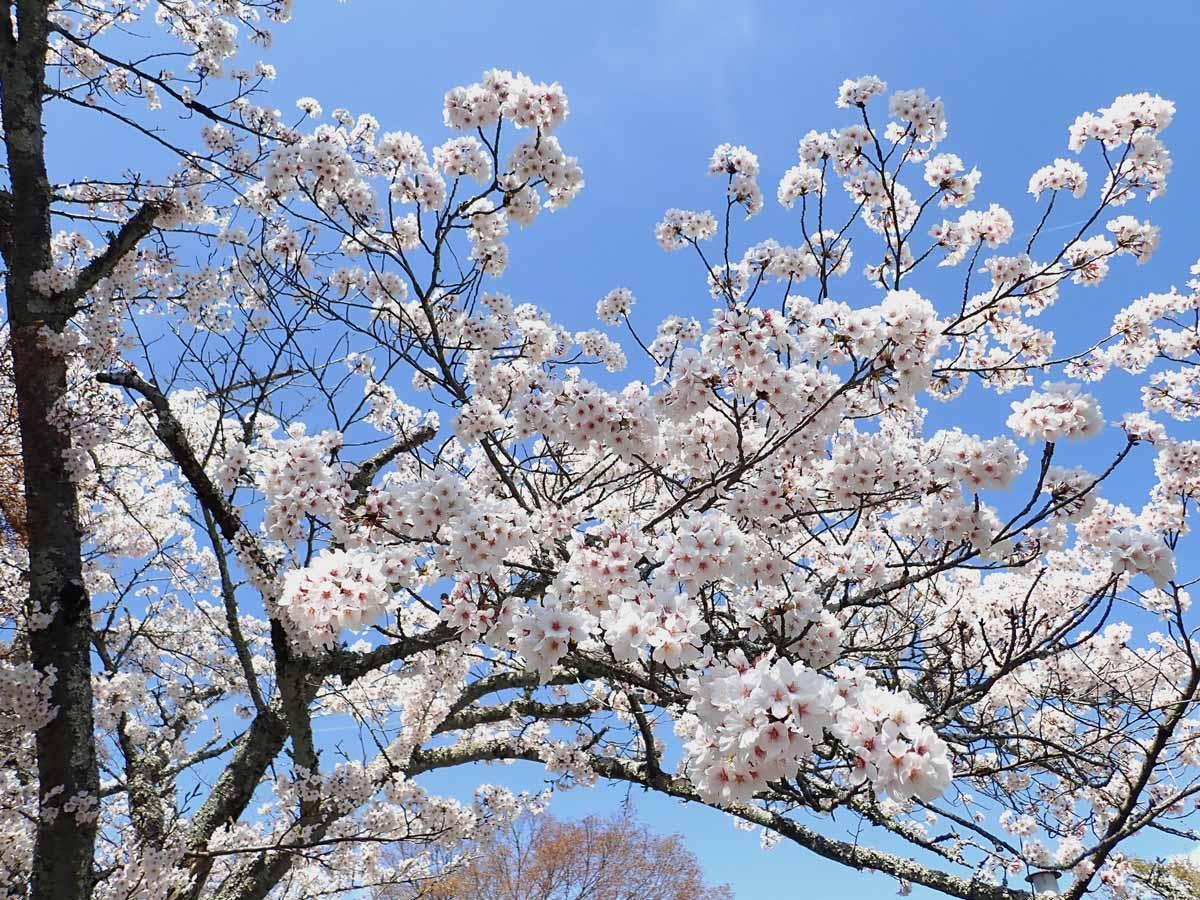 石山寺・東大門前に咲く満開の桜