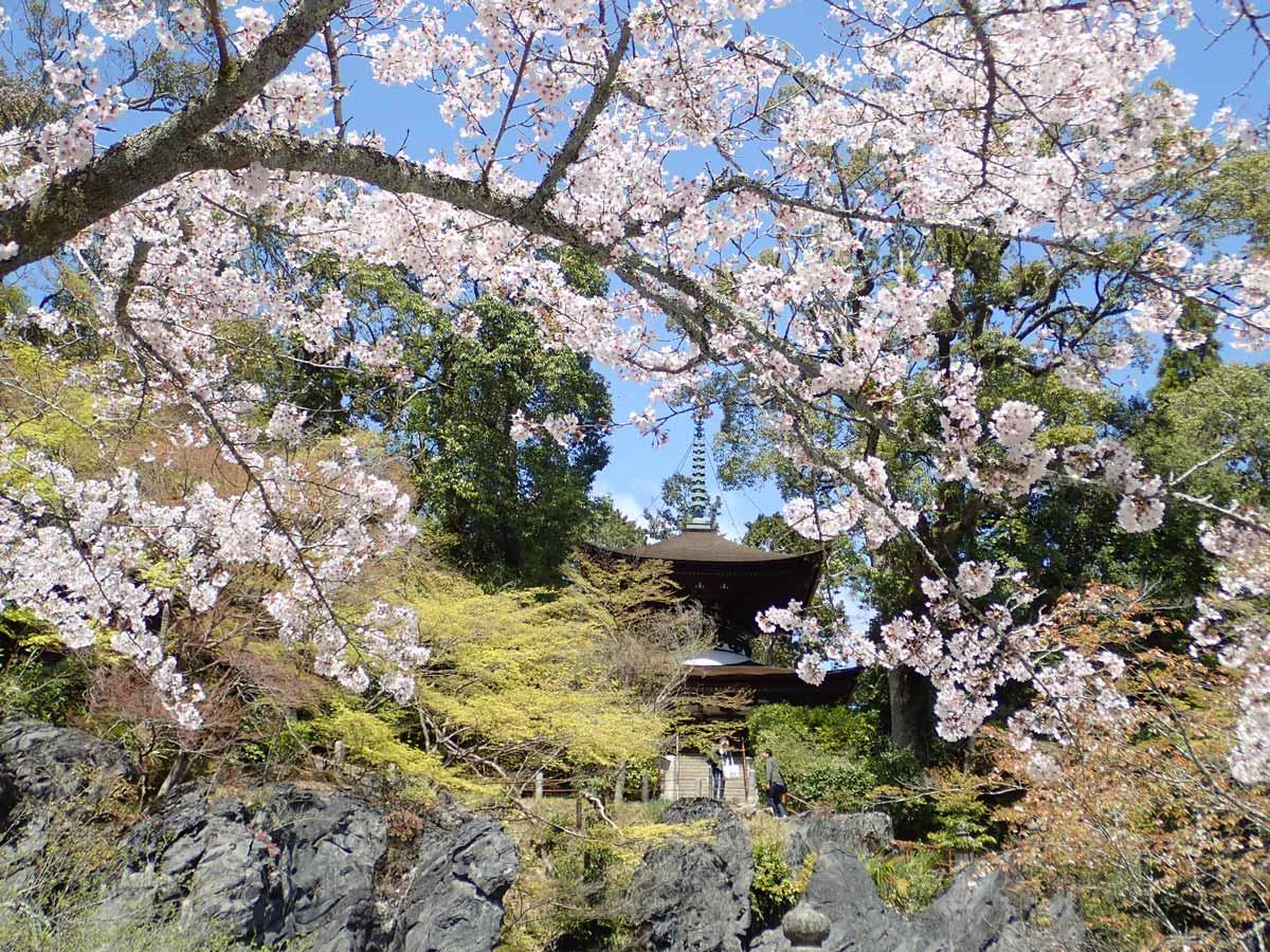 石山寺の珪灰石、多宝塔と桜