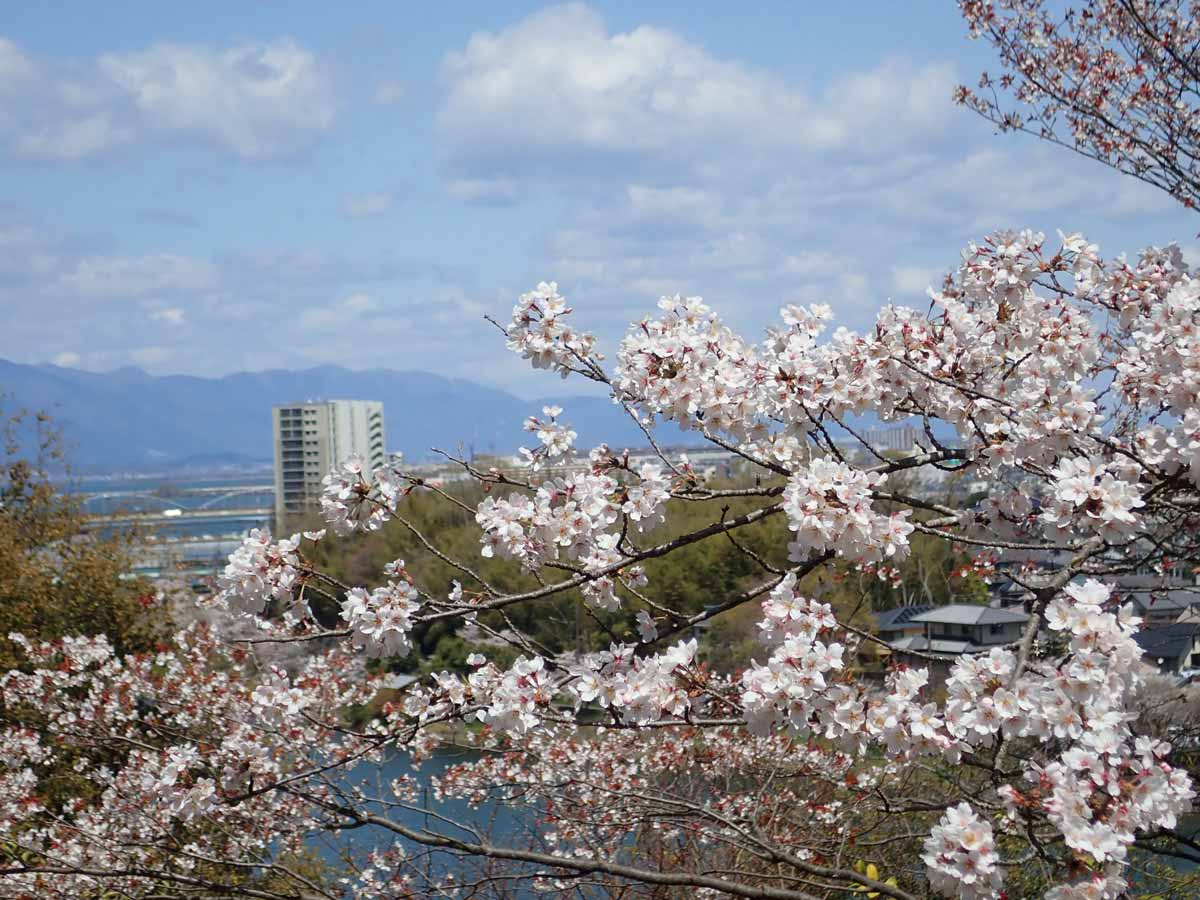 満開の桜と比良山