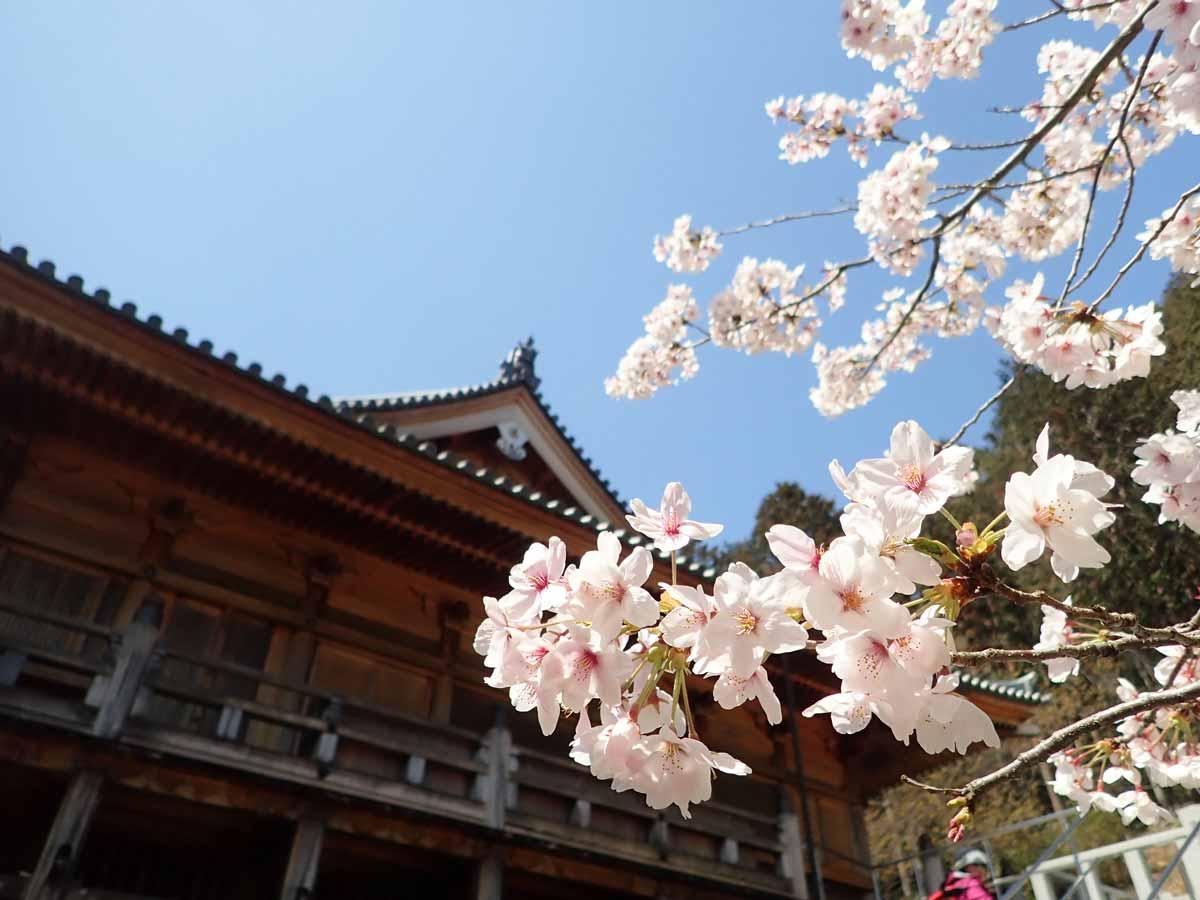 光堂の横にある桜