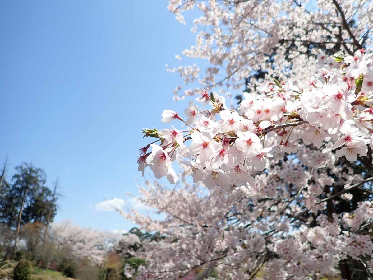 光堂の横の桜