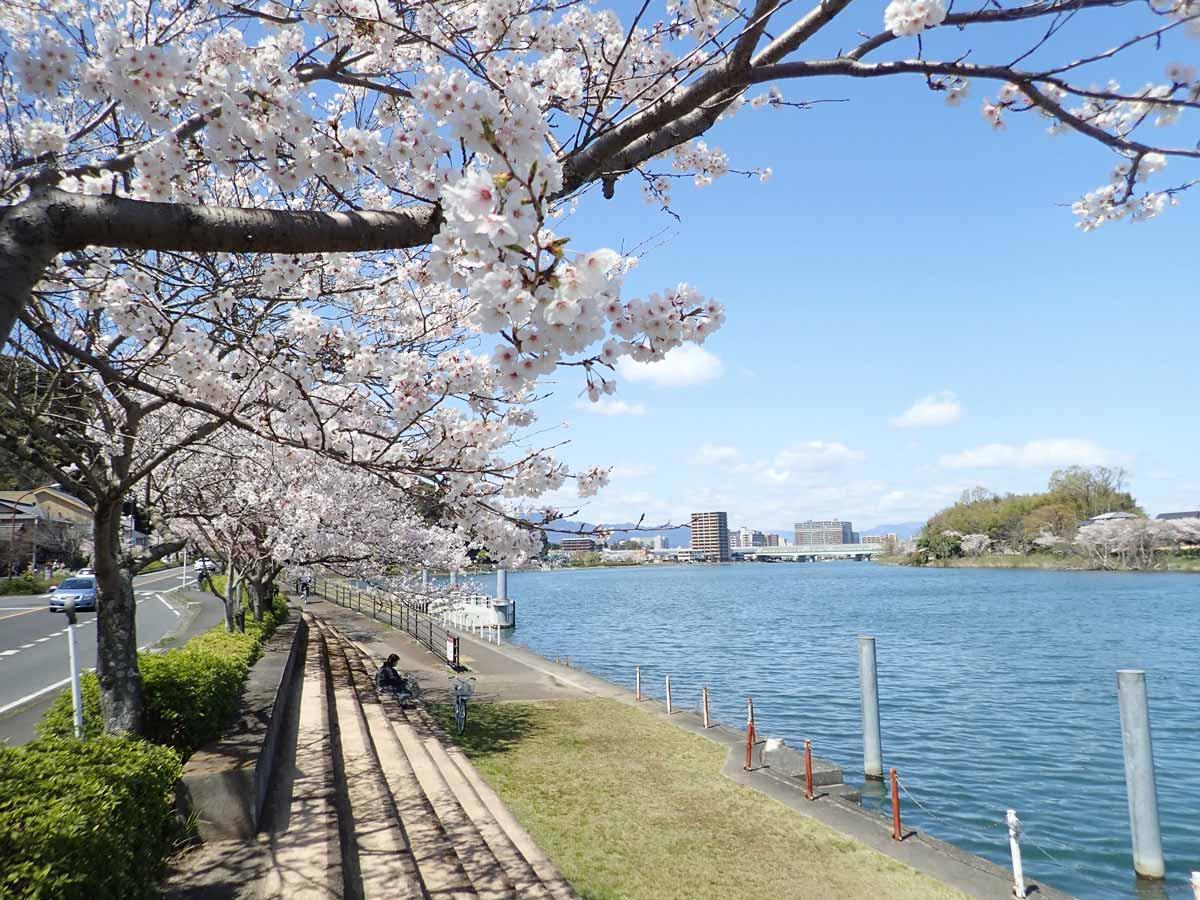 瀬田川沿いの桜並木
