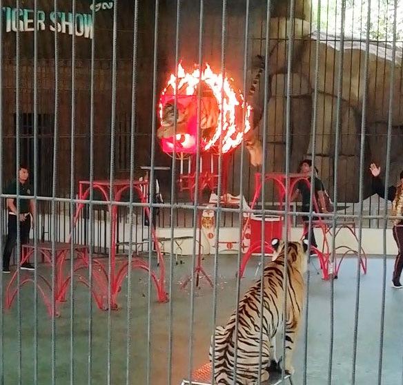 燃え盛る炎をジャンプするトラ