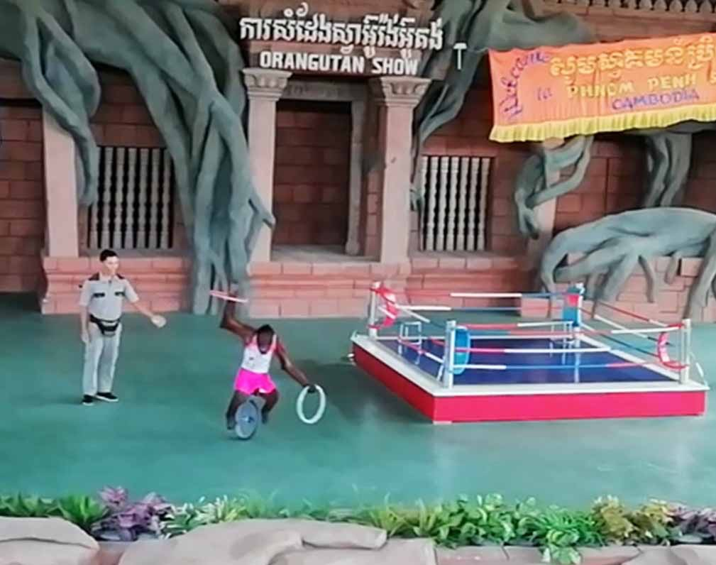 一輪車に乗るオランウータン