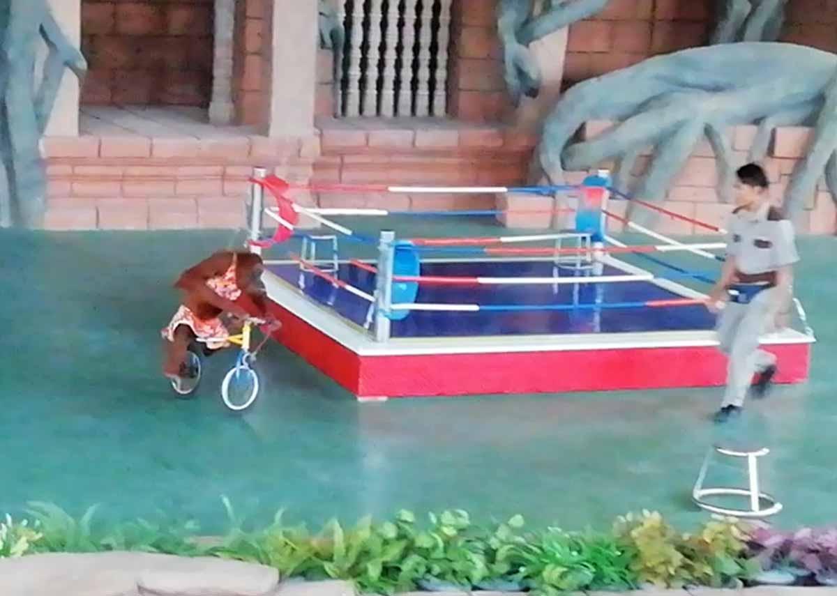 自転車に乗るオランウータン