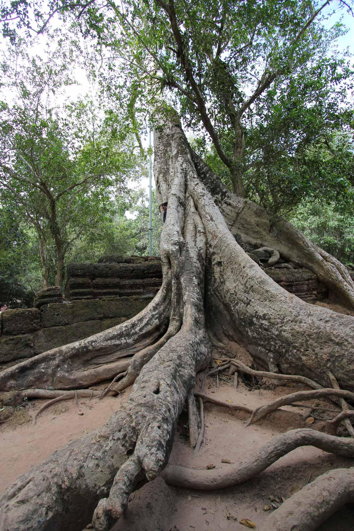 遺跡に倒れかかる巨木