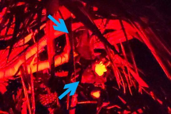 オガサワラオオコウモリ