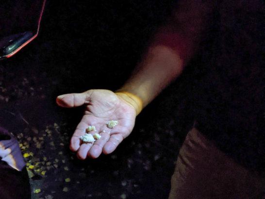 オガサワラオオコウモリが食べた実のカス