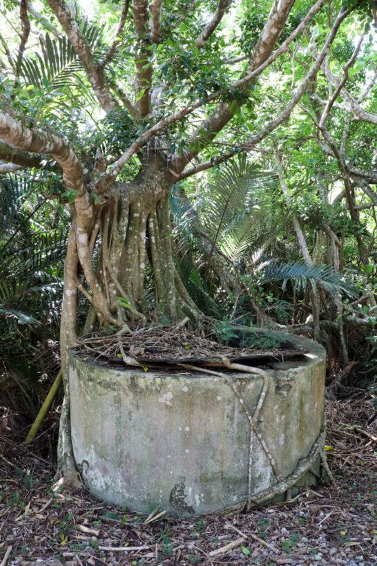 井戸に根を張る木