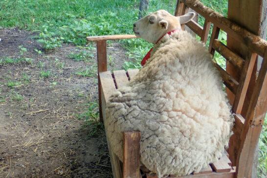 羊のおとよさん